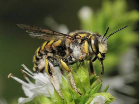 Пчела-шерстобит