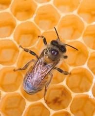 Пчелы - забытый капитал
