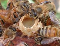 Радиация и пчелы