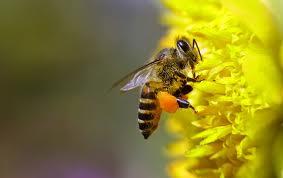 Немного о пчелах и их родственниках