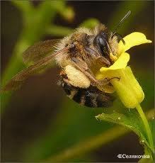 Замена старых пчел молодыми